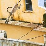 Click here to buy at Alamy. Keywords: Blue Bundi India Langur Monkey Purple Rajasthan MyID: 06IP357