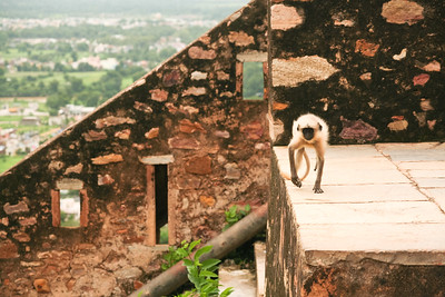 Click here to buy at Alamy. Keywords: Chittorgarh India Langur Monkey Primates Rajasthan MyID: 06IP406