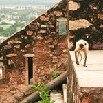Click here to buy at Alamy. Keywords: Chittorgarh India Langur Monkey Primates Rajasthan MyID: 06IP406