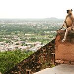 06IP407 Chittorgarh India Langur Monkey Primates Rajasthan