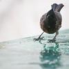 Click here to buy at Alamy. Keywords: Animals Birds Bulbul Bundi India Rajasthan MyID: 06IP328