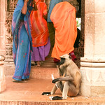 06IP404 Chittorgarh Hindu India Langur Monkey Rajasthan