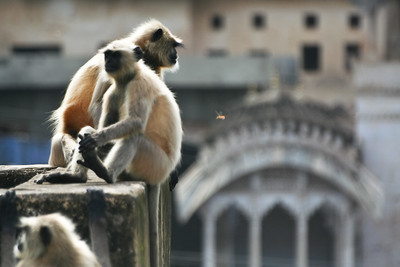 Click here to buy at Alamy. Keywords: Bundi India Langur Monkey Primates Rajasthan MyID: 06IP346
