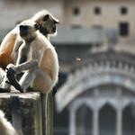 Click here to buy at Alamy. Keywords: Bundi India Langur Monkey Primates Rajasthan MyID: 06IP346