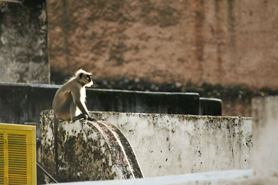 Click here to buy at Alamy. Keywords: Bundi India Langur Monkey Primates Rajasthan MyID: 06IP342