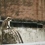 Click here to buy at Alamy. Keywords: Bundi India Langur Monkey Primates Rajasthan MyID: 06IP342