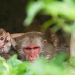 06IP373 Bundi India Macaques Monkey Primates Rajasthan