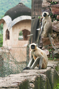 Click here to buy at Alamy. Keywords: Bundi India Langur Monkey Primates Rajasthan MyID: 06IP378