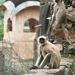 Click here to buy at Alamy. Keywords: Bundi India Langur Monkey Primates Rajasthan MyID: 06IP378