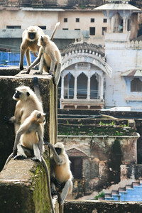 Click here to buy at Alamy. Keywords: Bundi India Langur Monkey Primates Rajasthan MyID: 06IP347