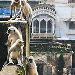 Click here to buy at Alamy. Keywords: Bundi India Langur Monkey Primates Rajasthan MyID: 06IP347