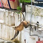 Click here to buy at Alamy. Keywords: Bundi India Langur Monkey Primates Rajasthan MyID: 06IP352