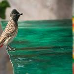 Click here to buy at Alamy. Keywords: Animals Birds Bulbul Bundi India Rajasthan MyID: 06IP344