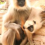 06IP410 Chittorgarh Hindu India Langur Monkey Rajasthan