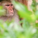 06IP374 Bundi India Macaques Monkey Primates Rajasthan