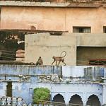 Click here to buy at Alamy. Keywords: Bundi India Langur Monkey Primates Rajasthan MyID: 06IP336
