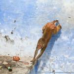 06IP349 Animals Blues Bundi Colours India Macaques Mammals Monkeys Primates Rajasthan