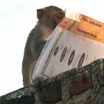Click here to buy at Alamy. Keywords: Bundi India Macaques Monkey Primates Rajasthan MyID: 06IP332