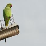 06IP343 Animals Birds Bundi India Parakeets Rajasthan Rose-Ringed Parakeets