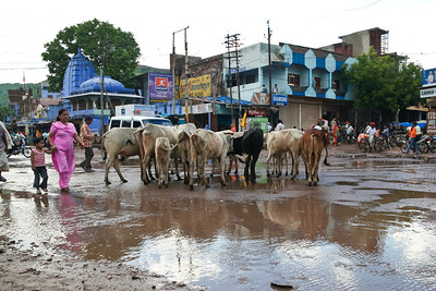 Click here to buy at Alamy. Keywords: Bundi Cattle Farming India Livestock Rajasthan MyID: 06IP380