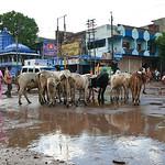 Click here to buy at Alamy. Keywords: Bundi Cattle Farming India Livestock Rajasthan MyID: 06IP380