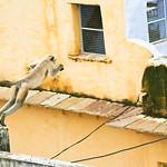 Click here to buy at Alamy. Keywords: Blue Bundi India Langur Monkey Purple Rajasthan MyID: 06IP355