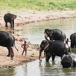 Click here to buy at Alamy. Keywords: Elephants India Indian Elephants Jaipur Rajasthan MyID: 06IP451