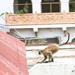 06IP354 Animals Bundi India Langurs Mammals Monkeys Primates Rajasthan