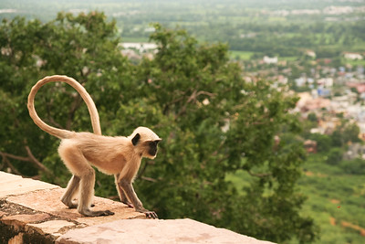 Click here to buy at Alamy. Keywords: Chittorgarh India Langur Monkey Primates Rajasthan MyID: 06IP408