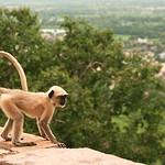 Click here to buy at Alamy. Keywords: Chittorgarh India Langur Monkey Primates Rajasthan MyID: 06IP408