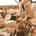 Click here to buy at Alamy. Keywords: Chittorgarh Hindu India Langur Monkey Rajasthan MyID: 06IP413