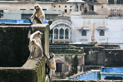Click here to buy at Alamy. Keywords: Bundi India Langur Monkey Primates Rajasthan MyID: 06IP345