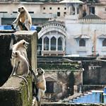 Click here to buy at Alamy. Keywords: Bundi India Langur Monkey Primates Rajasthan MyID: 06IP345