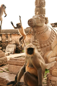 Click here to buy at Alamy. Keywords: Chittorgarh Hindu India Langur Monkey Rajasthan MyID: 06IP411