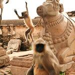 Click here to buy at Alamy. Keywords: Chittorgarh Hindu India Langur Monkey Rajasthan MyID: 06IP411