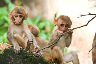 Click here to buy at Alamy. Keywords: Bundi India Macaques Monkey Primates Rajasthan MyID: 06IP376