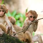 Click here to buy at Alamy. Keywords: Bundi India Macaques Monkey Primates Rajasthan MyID: 06IP376