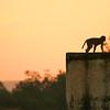 Click here to buy at Alamy. Keywords: Bundi India Macaque Monkey Orange Rajasthan Sunset MyID: 06IP339