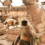 Click here to buy at Alamy. Keywords: Hindu India Langur Monkey Primates Rajasthan Faith MyID: 06IP412