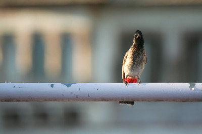 Click here to buy at Alamy. Keywords: Animals Birds Bulbul Bundi India Rajasthan MyID: 06IP330