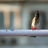 Click here to buy at Alamy. Keywords: Animals Birds Bulbul Bundi India Rajasthan MyID: 06IP330