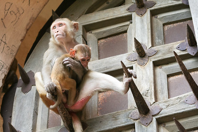 Click here to buy at Alamy. Keywords: Bundi India Macaques Monkey Primates Rajasthan MyID: 06IP377