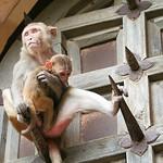 Click here to buy at Alamy. Keywords: Bundi India Macaques Monkey Primates Rajasthan MyID: 06IP377