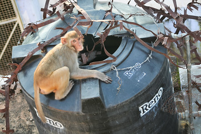 Click here to buy at Alamy. Keywords: Bundi India Macaques Monkey Primates Rajasthan MyID: 06IP333