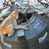 Click here to buy at Alamy. Keywords: Bundi India Macaques Monkey Primates Rajasthan MyID: 06IP333