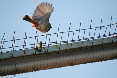 Click here to buy at Alamy. Keywords: Animals Birds Bulbul Bundi India Rajasthan MyID: 06IP329
