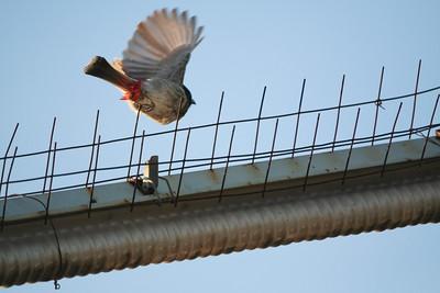 Click here to buy at Alamy. Keywords: Animals Birds Bulbul Bundi India Rajasthan MyID: 06IP329