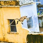 Click here to buy at Alamy. Keywords: Blue Bundi India Langur Monkey Purple Rajasthan MyID: 06IP358