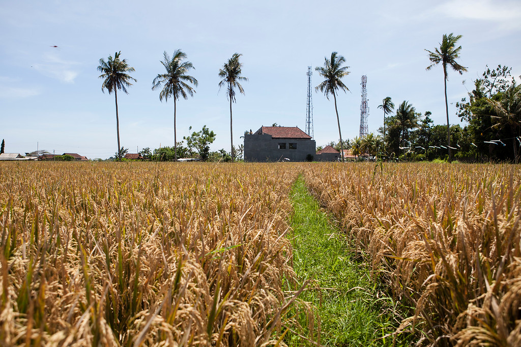Rice Field Footpath, Lotunduh, Bali