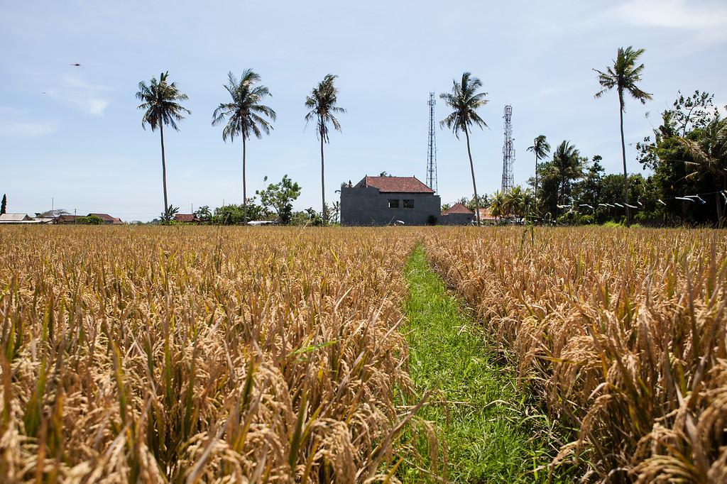 Rice Field Footpath, Lotunduh, Bali